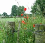 615px-Poppies_by_field_gate_-_geograph.org.uk_-_846634[1]