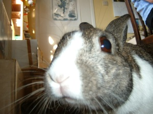 Shintie -sweet source of all the know-how in my little book, 'Rabbittalk - How to make friends with your Rabbit'