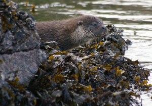 Sea otter in Shetland