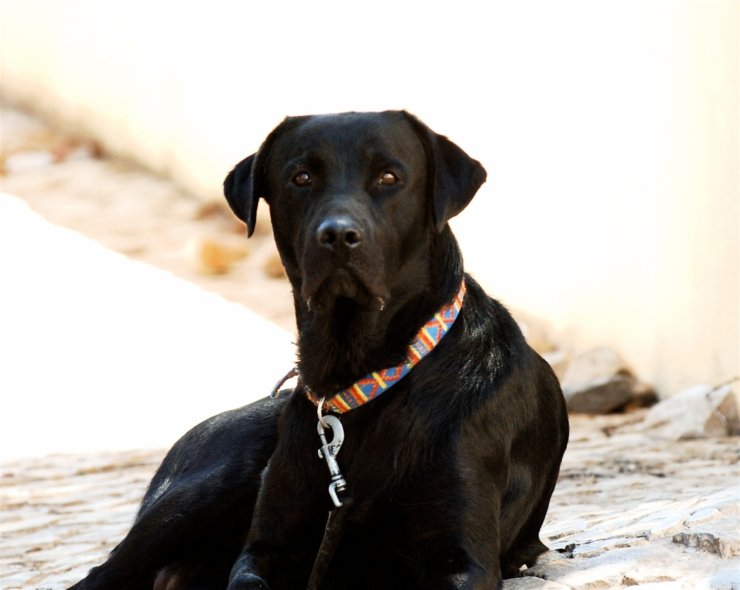 black_dog_looking_to_you_straight_in_the_eyes_201099450